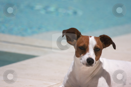 JRT soaks up the sun poolside on a warm summer day. stock photo, JRT soaks up the sun poolside. by Andy Dean