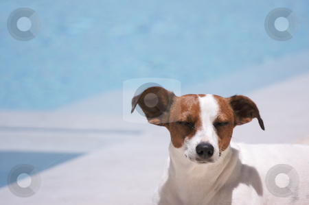 Poolside Meditation stock photo, JRT soaks up the sun poolside. by Andy Dean