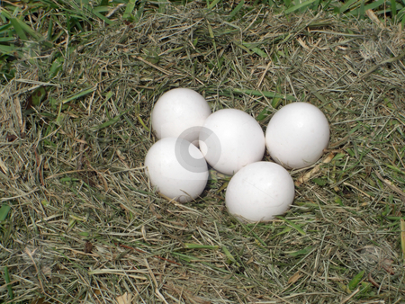 Egg nest stock photo, Five eggs are left in a nest on a farm in hopes of inducing a hen to come back and lay more. by Rebecca Mosoetsa