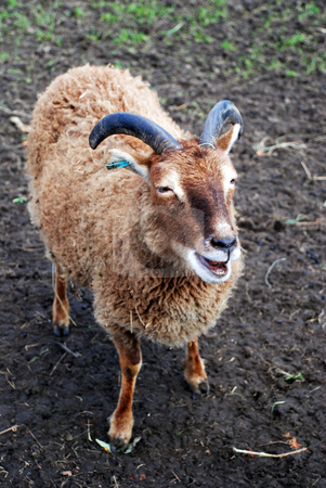 Primitive Soay Breed stock photo, A photograph of a Soay Sheep, a rare, primitive breed of domestic sheep, descended from a population of feral sheep on the 250-acre island of Soay in the St. Kilda Archipelago, about 65 km from the Western Isles of Scotland. by Philippa Willitts