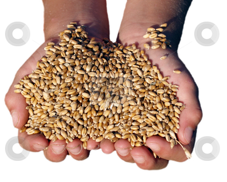 Handfull of golden wheat stock photo, A child's hand full of golden wheat from harvest by Michelle Bergkamp