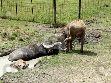 Water Buffalo Siesta stock photo, A mother Water Buffalo, a young Water Buffalo and a calf lay in a mud pond to cool down during a hot summer day by Marburg