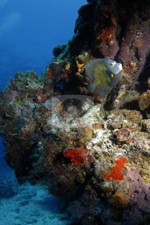 French Angel Fish with Coral stock photo, French Angel Fish (Pomacanthus paru) at a coral rock formation by A Cotton Photo