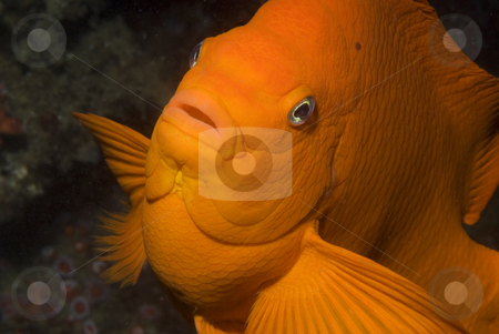 Garibaldi Close Up stock photo, Close Up of a Garibaldi Damselfish (Hypsypops rubicundus) underwater in the Channel Islands by A Cotton Photo