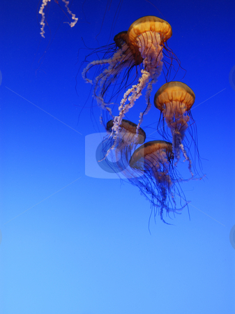 Jellyfish stock photo, Jellyfish in Aquarium by A Cotton Photo