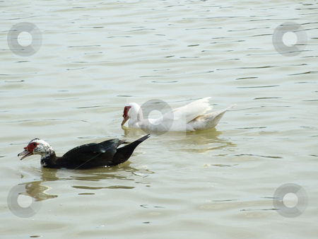Water Fowl stock photo, Water Fowl swimming in pond by Marburg