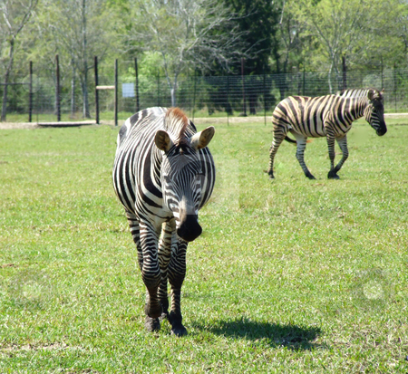 Two Zebras stock photo, Two zebras at a wildlife ranch by Marburg