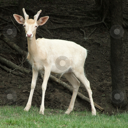 White Deer stock photo, White Deer standing still at side of the road by Marburg