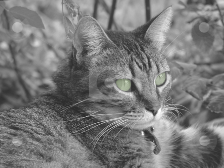 Kitty stock photo, Cat in black and white with eyes colored green by Michelle Bergkamp