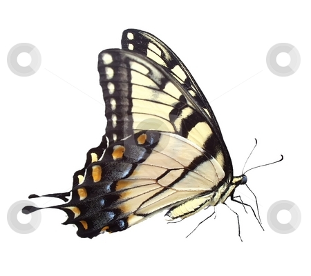 Butterfly isolated stock photo, Isolated butterfly on white by Michelle Bergkamp