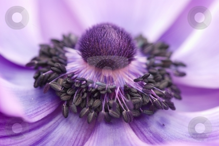 Purple Anemone Polyp stock photo, Close-up of a purple Anemone pistil stamen and petals by Charles Jetzer
