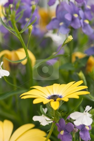 Blue Lemon Soprano Nemesia  stock photo, Nemesia Blue Bird, Lemon Osteospermum Symphony close-up by Charles Jetzer