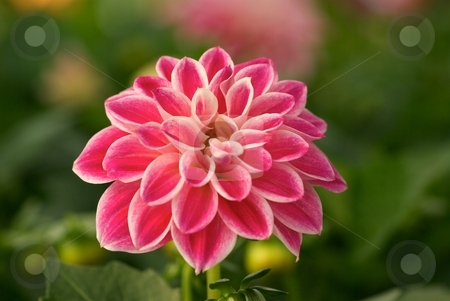 Bursting Dahlia Dahlietta Louise I stock photo, Dahlia Dahlietta Louise bloom close-up by Charles Jetzer