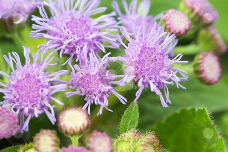 Artist Blue Starburst II stock photo, Blue Ageratum Artist (Ageratum Hybrid) blooms close-up by Charles Jetzer