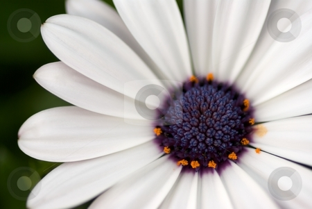White Soprano stock photo, Close-up of a white Osteospermum Soprano with golden pollen by Charles Jetzer