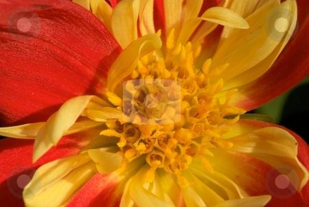 Flame Sunburst - Dahlia Dahlietta stock photo, Close-up of blooming Dahlia Dahlietta Sunburst by Charles Jetzer