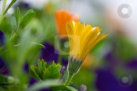 Symphony Osteospermums stock photo, Lemon Yellow and Orange Symphony Osteospermum Blooms by Charles Jetzer