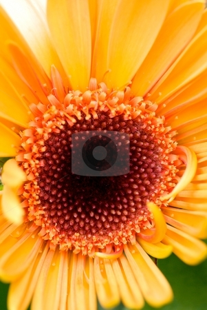 Orange Gerber Daisy stock photo, Closeup of an orange Gerber Daisy Bloom by Charles Jetzer