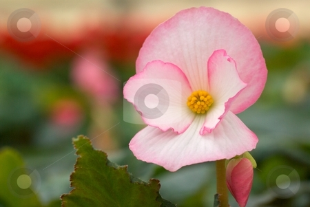 Standing Out stock photo, Close-up of a Blooming Begonia by Charles Jetzer