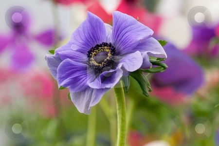 Royal Velvet Anemone in a Field stock photo, Closeup of a royal purple Anemone in a field of various blooming Anemones by Charles Jetzer
