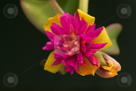 Firegold Yubi stock photo, Close-up of a Portulaca Firegold Bloom Yubi by Charles Jetzer