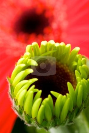 Opening Gerber stock photo, Close-up of a growing Gerber Daisy with a full blooming pink behind by Charles Jetzer