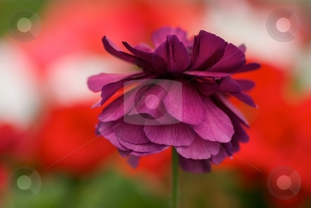 Royal Ranunculus stock photo, Macro of a royal purple Ranunculus (Bloomingdale Mix) in front of a bed of Red, White and Coral Pink Geraniums by Charles Jetzer