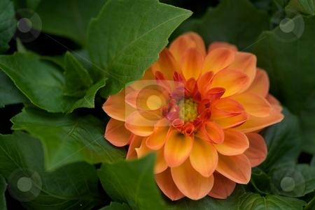 Shy Jenny - Dahlia Dahlietta stock photo, Orange Dahlia Dahlietta Jenny bloom close-up by Charles Jetzer