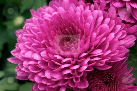Bursting Pink stock photo, Close-up on a Blooming Pink Garden Chrysanthemum by Charles Jetzer