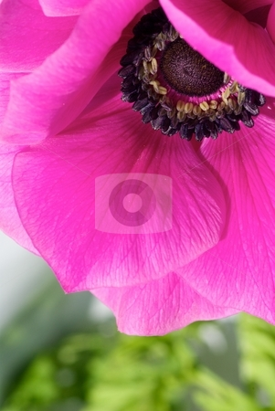 Pink Anemone stock photo, Close-up of a pink Anemone blooming by Charles Jetzer