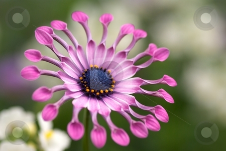 Lilac Spoon stock photo, Close-up of a blooming Lilac Spoon Soprano Osteospermum by Charles Jetzer