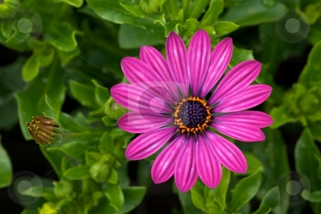Streaked Purple Osteospermum stock photo, Close-up of a blooming purple Osteospermum Soprano from Above by Charles Jetzer