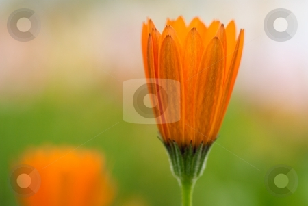 Symphony Solo stock photo, Orange Osteospermum Symphony bloom close-up by Charles Jetzer