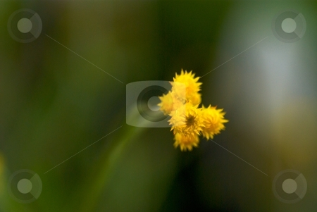 Starburst Bloom stock photo, Close-up of yellow blooming Chrysocephalum Flambe. by Charles Jetzer