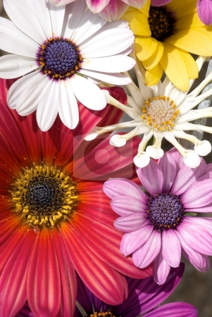 Bloom Boost stock photo, Mix of blooming Osteospermums by Charles Jetzer