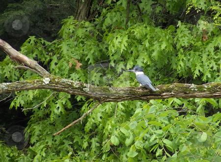 Belted Kingfisher stock photo, A male Belted Kingfisher (Megaceryle alcyon) perched on a dead tree limb. by Kathy Piper
