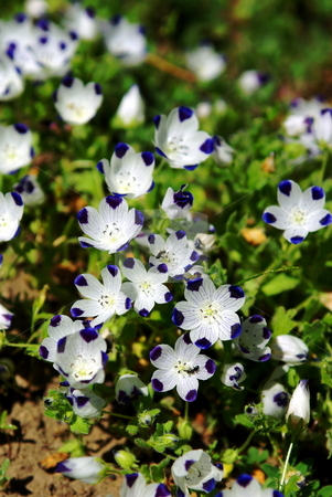 Tiny Blue And White Wildflowers stock photo, Small blue and white nountain wildflowers with 2 Ants gatering necter. by Lynn Bendickson
