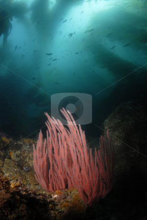 Moving Kelp Forest stock photo, Moving Kelp Forest by A Cotton Photo
