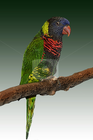 Colorful Parrot stock photo, A colorful parrot sitting on a branch.  Available with different backgrounds or patterns. by Marc Saegesser