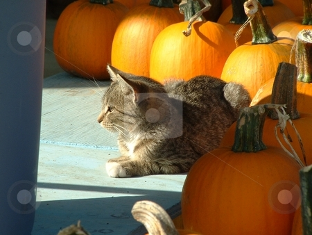 Kitten Basking in the sun stock photo, A kitten rests on a bench surrounded by pumpkins and basks in the warm glow of afternoon sunshine. by Dennis Thomsen