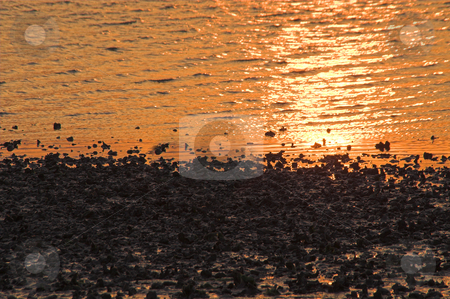 Oyster Bed at Sunrise stock photo, An oyster or clam bed at sunrise or sunset. by Robert Byron