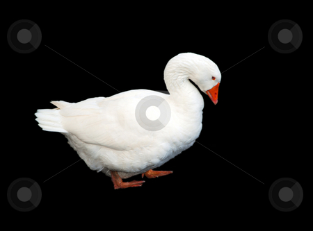 White Goose Isolated on Black stock photo, A photograph of a white goose with characteristic neck, beak and web-footed. by Philippa Willitts