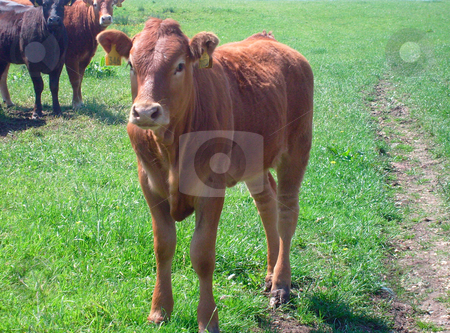 Portrait of brown beef cow stock photo, Beef cow stood in countryside, England. by Martin Crowdy