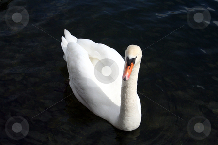 Graceful white swan stock photo, Graceful white swan swimming with black background. by Martin Crowdy