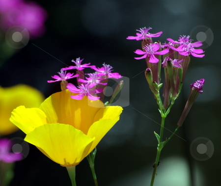 Poppy And Pink stock photo, Yellow California poppies growing with small pink wildflowers. by Lynn Bendickson