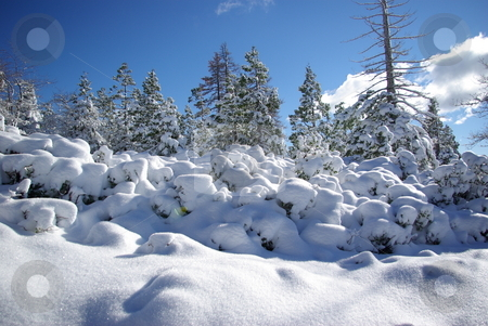 High Sierra Forest stock photo, Trees covered in fresh snow in the Sierra Crystal Range by Lynn Bendickson