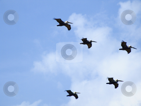 Pelicans in Flight stock photo, Brown Pelicans flying in formation by Marburg