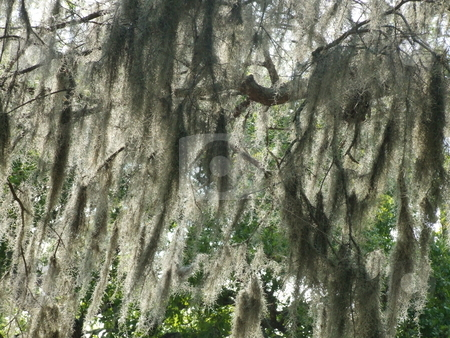 More Spanish Moss stock photo, Spanish Moss (Weeping Willow) hanging from branches of a tree by Marburg