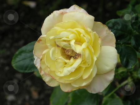 Yellow Rose Flowers stock photo,  by Ritu Jethani