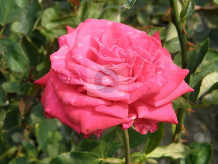 Rose Flowers in garden stock photo,  by Ritu Jethani
